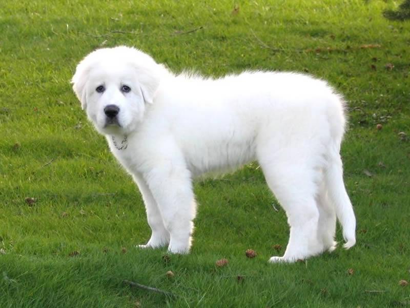 Cão dos Pirineus