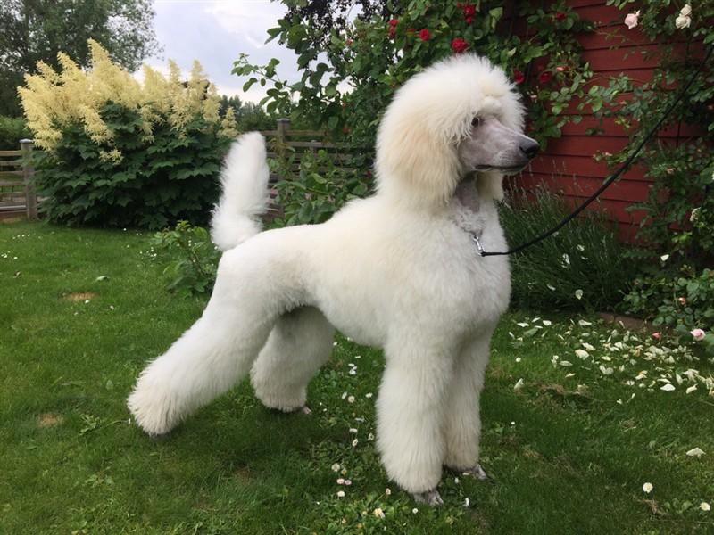 Resultado de imagem para poodle gigante modelo